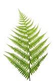 Folha de um fern em um branco Fotografia de Stock Royalty Free