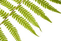 Folha de um fern em um fundo branco Fotos de Stock Royalty Free