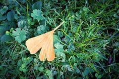 Folha de uma árvore da nogueira-do-Japão no outono Fotos de Stock
