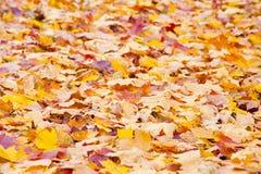 Folha de uma árvore de bordo Imagens de Stock