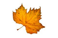 Folha de uma árvore do sycamore Imagem de Stock