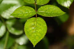 A folha de uma rosa Foto de Stock