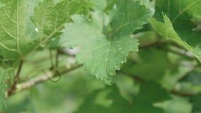 Folha de uvas com gota de chuva no jardim vídeos de arquivo