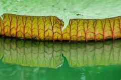 Folha de Victoria no campo da estação de tratamento de água Fotos de Stock