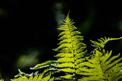 Folha delicada nova de claro - samambaias verdes em um fundo escuro iluminado pelo sol da mola fotografia de stock