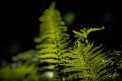 Folha delicada nova de claro - samambaias verdes em um fundo escuro iluminado pelo sol da mola foto de stock royalty free