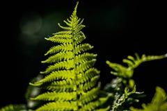 Folha delicada nova de claro - samambaias verdes em um fundo escuro iluminado pelo sol da mola fotografia de stock royalty free