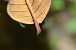 A folha desengaça de manga secadas é marrom escuro, e enrugado imagem de stock
