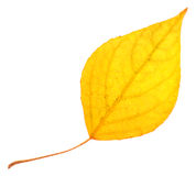 Folha do álamo amarelo isolada Imagens de Stock Royalty Free