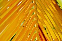 Folha do amarelo da palmeira dos Cocos Fotografia de Stock