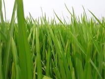 Folha do arroz Fotografia de Stock
