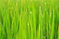 Folha do arroz selvagem da almofada com orvalho Foto de Stock