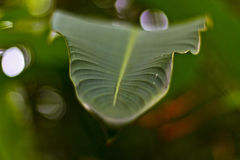 Folha do banana-da-terra Imagens de Stock Royalty Free