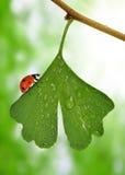 Folha do biloba da nogueira-do-Japão com gotas de orvalho Imagens de Stock Royalty Free