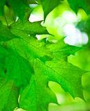 Folha do bordo verde Foto de Stock Royalty Free