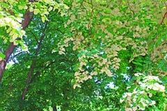 A folha do branco da árvore de Linden sae - da vista traseira da folha do Linden Fotos de Stock