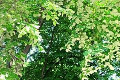 A folha do branco da árvore de Linden sae - da vista traseira da folha do Linden Fotografia de Stock