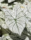 Folha do Caladium fotografia de stock royalty free