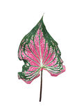 Folha do Caladium foto de stock royalty free