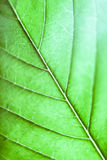 Folha do cannabis Foto de Stock