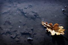 Folha do carvalho Fotografia de Stock