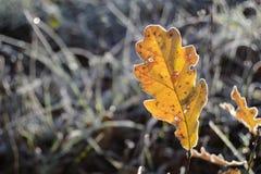 Folha do carvalho amarelo no inverno fotografia de stock royalty free