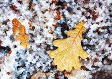 Folha do carvalho amarelo do outono na terra coberta com a neve naughty fotografia de stock