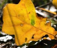 Folha do carvalho amarelo do outono nas frentes fotografia de stock royalty free