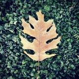Folha do carvalho de Brown em Frosty Green Background imagem de stock royalty free