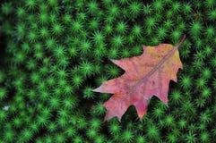 Folha do carvalho no musgo verde Fotos de Stock Royalty Free