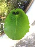 Folha do coração Imagem de Stock