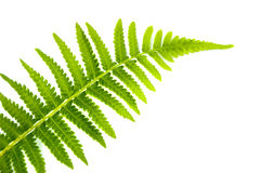 Folha do Fern Foto de Stock