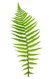 Folha do Fern Foto de Stock Royalty Free