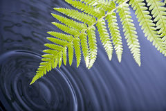 Folha do Fern com ondinhas da água Fotografia de Stock