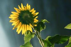 A folha do girassol brilha sob o sol Foto de Stock
