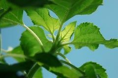 A folha do girassol brilha sob o sol Imagens de Stock Royalty Free