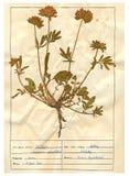 Folha do Herbarium - 1/30 Imagens de Stock