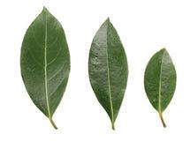 Folha do louro isolada no fundo branco Folhas de louro frescas Vista superior Fotografia de Stock