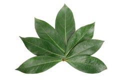 Folha do louro isolada no fundo branco Folhas de louro frescas Vista superior Imagens de Stock