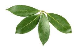 Folha do louro isolada no fundo branco Folhas de louro frescas Vista superior Fotos de Stock
