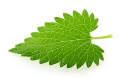 Folha do melissa do erva-cidreira isolada no branco imagens de stock royalty free