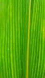 Folha do milho Fotografia de Stock