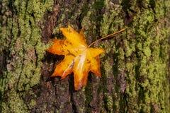 A folha do outono aderiu-se à casca de mentiras de uma árvore em um musgo Foto de Stock