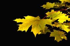 Folha do outono contra o fundo preto Fotografia de Stock Royalty Free
