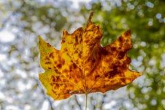 Folha do outono contra o luminoso em um dia bonito do outono fotos de stock