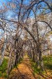 Folha do outono da aleia das árvores Fotografia de Stock Royalty Free