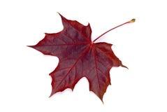 Folha do outono do bordo Imagem de Stock