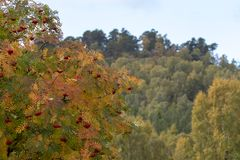 Folha do outono dos amarelos e dos vermelhos durante o outono nos quartzos defumados NP, scotland imagem de stock