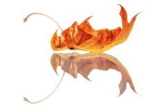 Folha do outono isolada no branco Fotos de Stock Royalty Free