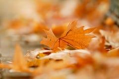 Folha do outono na terra Imagem de Stock